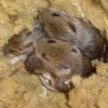 Едят ли мыши пенополистирол